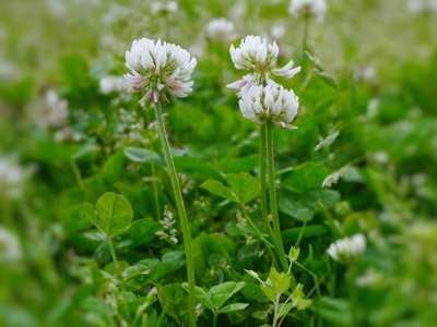 Astragale Telomerase : Code avantage - Plante - Danger |  Quels sont les avantages